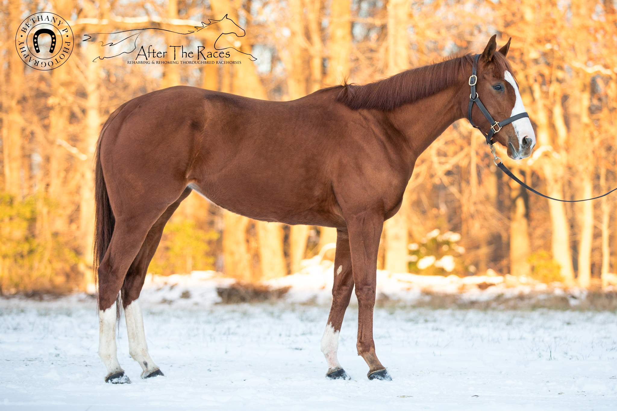 Choice Prospect retired racehorse ready for adoption through After The Races in Maryland